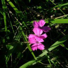 Botanique Caryophyllacées
