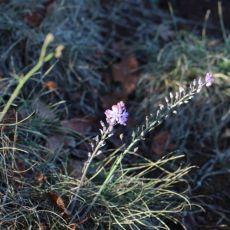 Scille d'automne/Prospero autumnale