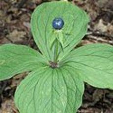 Parisette à quatre feuilles/Paris quadrifolia