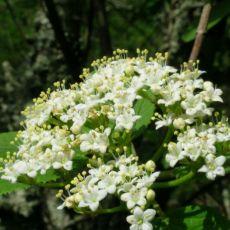 Caprifoliacées-Viorne Lantana