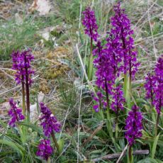 Orchidacées-Orchis maculata