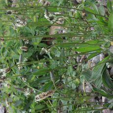 Plantaginacées-Plantain lancéolé